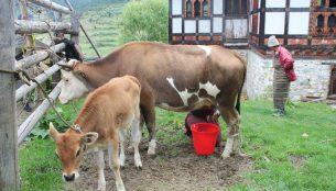 ブータンの家畜