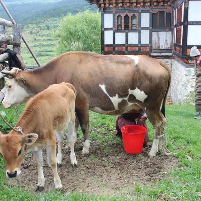 ブータンの牛