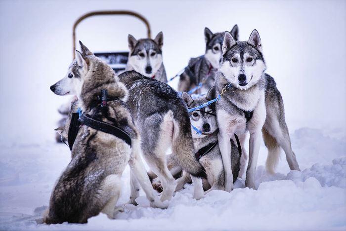 犬ぞりで出会えるハスキー犬たち