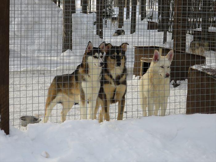 ハスキーファームの犬たち