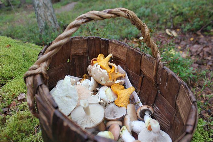 森で採れるキノコ