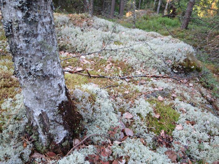 苔の多いフィンランドの森