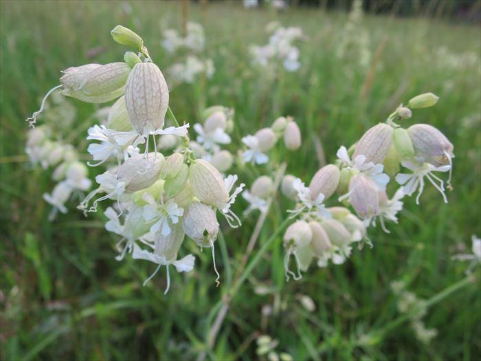 フィンランド 夏の花