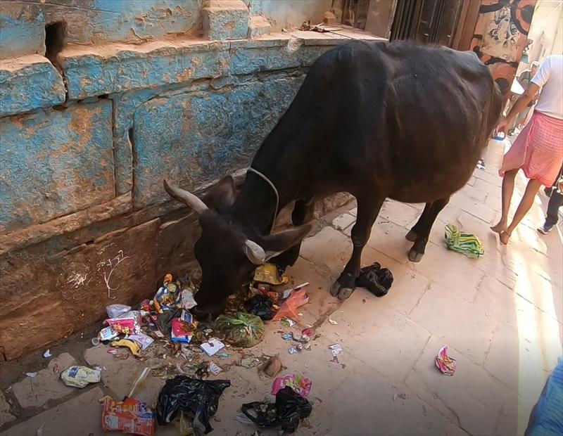 インド・バラナシの旧市街を散策していると野良牛さんがたくさんいます。