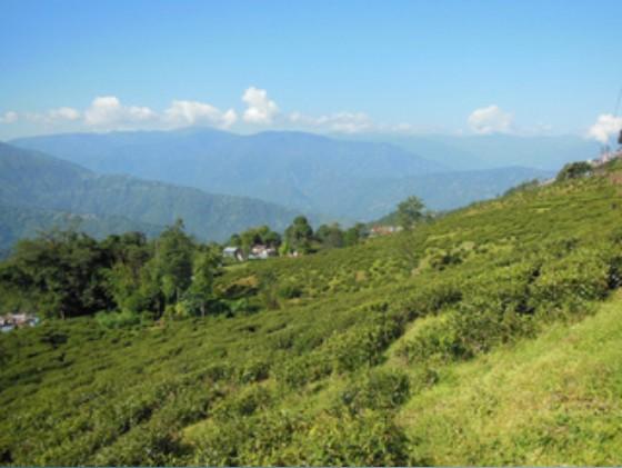 ダージリンの茶畑