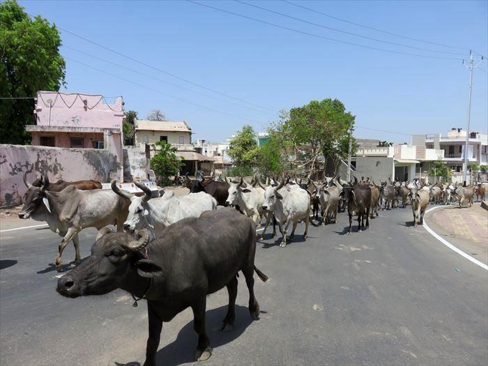 田舎道の牛