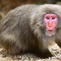 屋久島の猿
