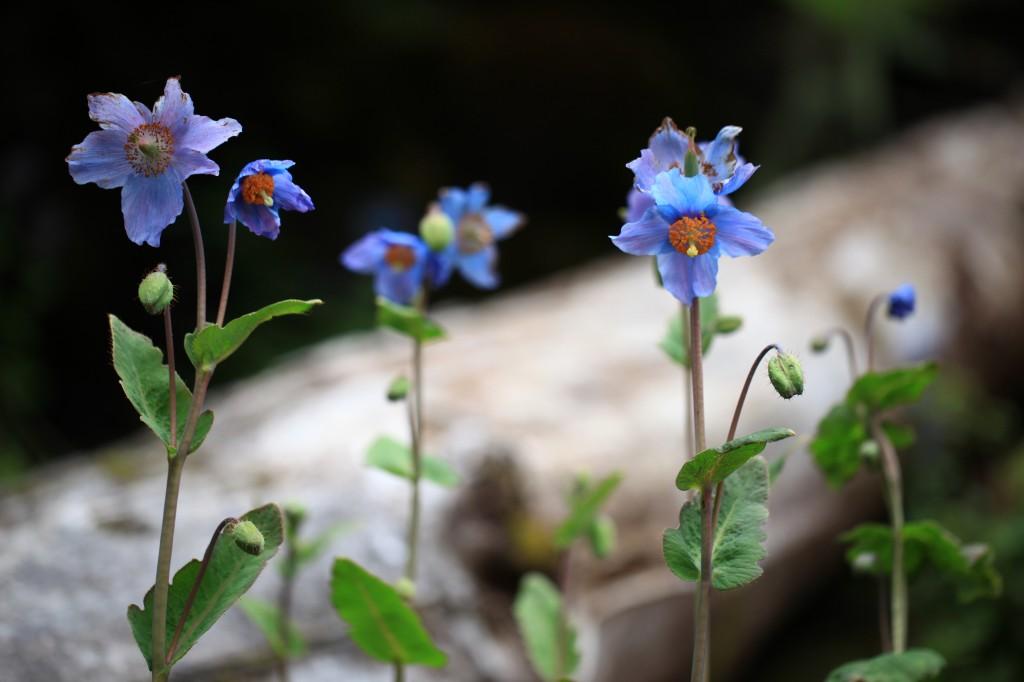 麗江の高山植物