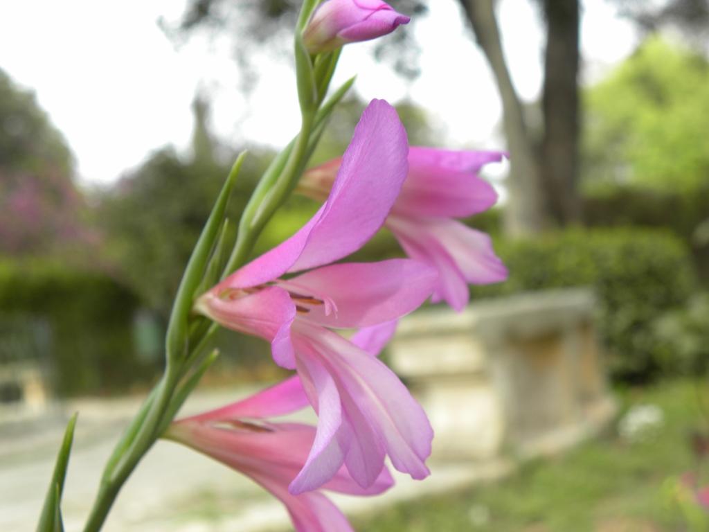 マルタ 花