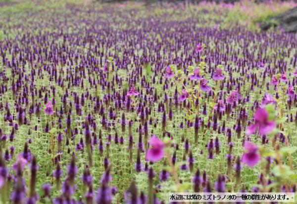 カース台地の花々 ミズノトラノオ