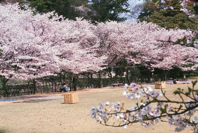 itb5416小豆島(栗林公園桜)