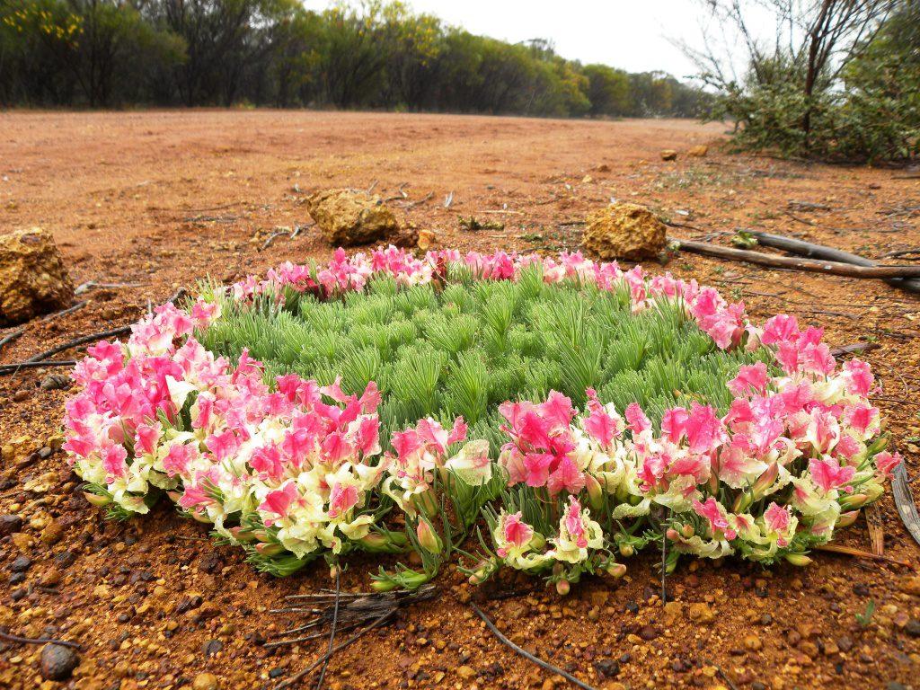 西オーストラリア ワイルドフラワー リースフラワー