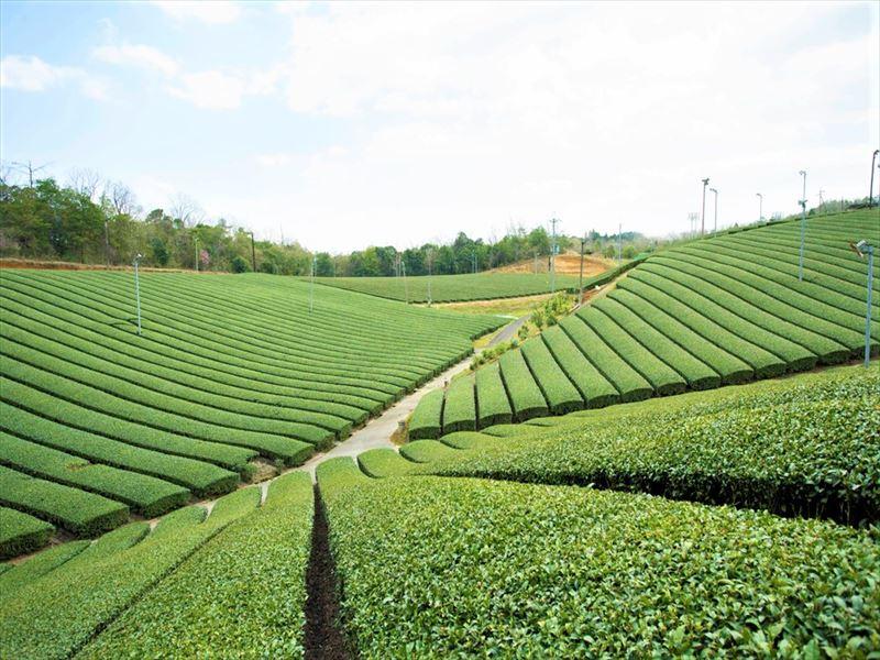 京都みなみやましろ ツルギの茶畑