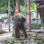 ガンガラマ寺院の象