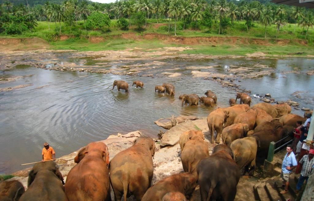 象たちは行列のまま川の中へ ▲ピンナラワの象の孤児院 毎日行われる象たちの水浴び 迫力!象たちの