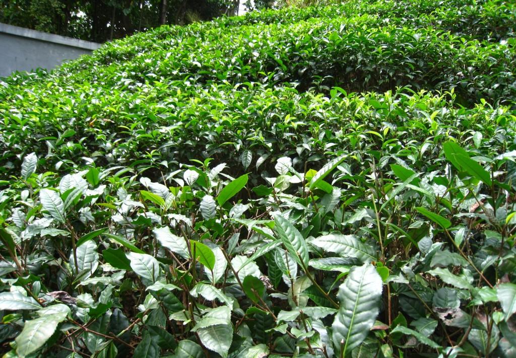紅茶ショップの上にある茶畑