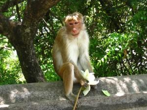 ダンブッラにいた猿