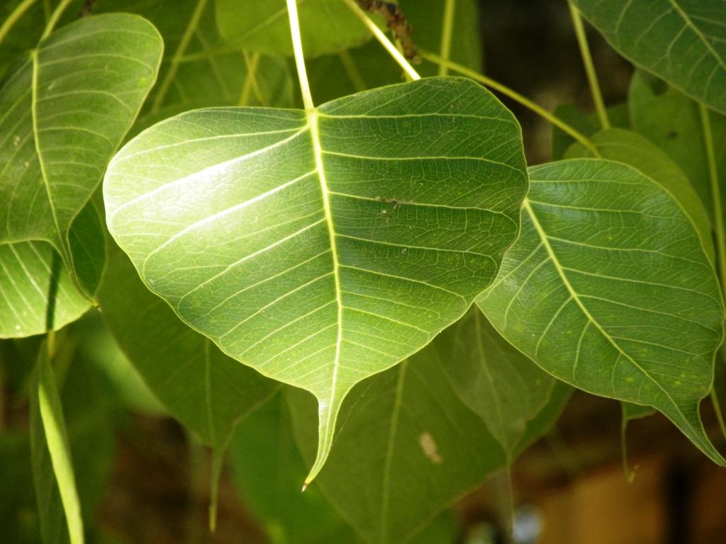 スリー・マハー菩提樹の葉