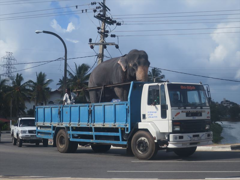 トラックで運ばれる象