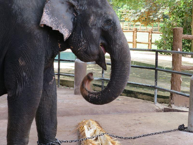 クジャクヤシの中味を食べる象