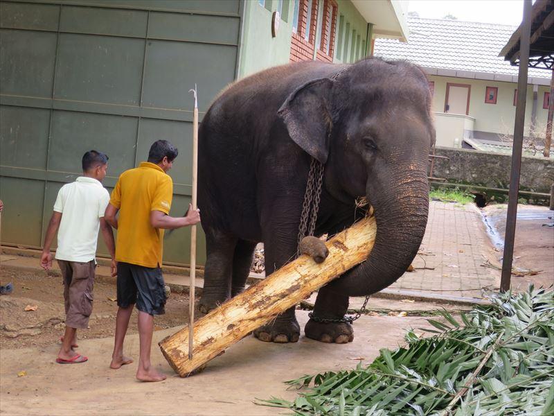 クジャクヤシを運ぶ象