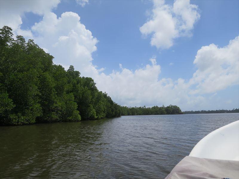 ベントータリバーとマングローブの林