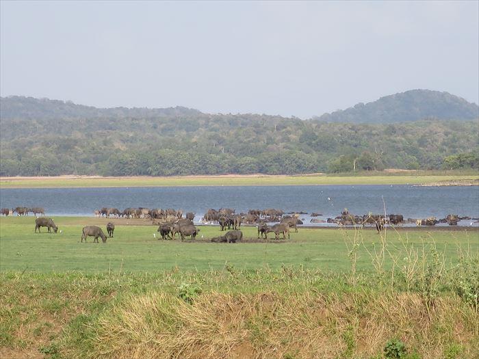 水牛の群れ