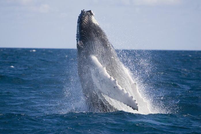 ザトウクジラのジャンプ(イメージ)